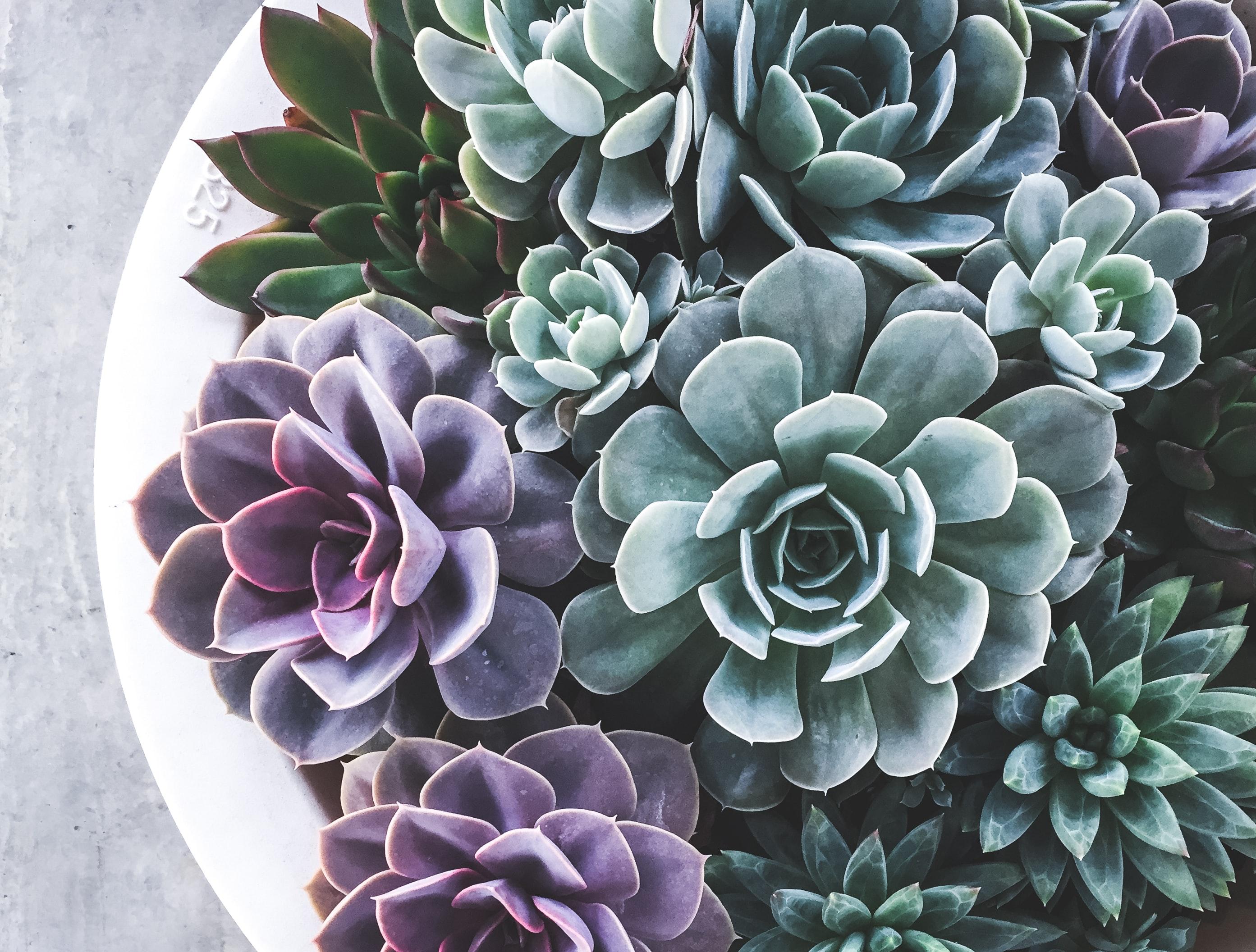 A dish of succulents