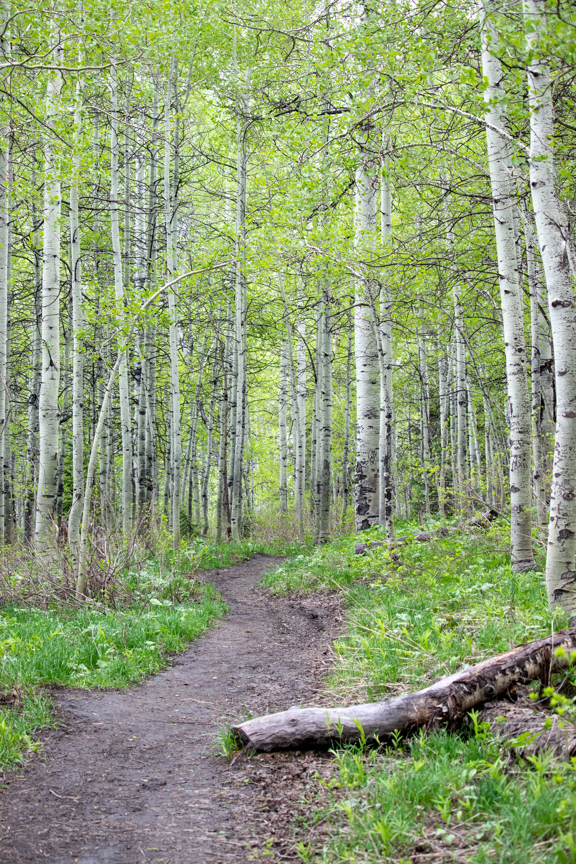 Hiking trail in a birch wood